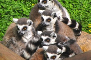 A group of lemurs at Colchester Zoo, England. Credit: jans canon/Flickr, CC BY 2.0