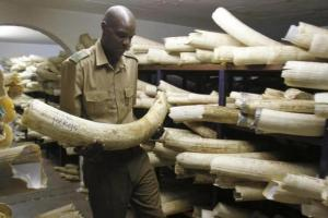 A Zimbabwe National Parks and Wildlife Management official checks ivory inside a storeroom in Harare August 22, 2012. Credit: Reuters/Philimon Bulawayo