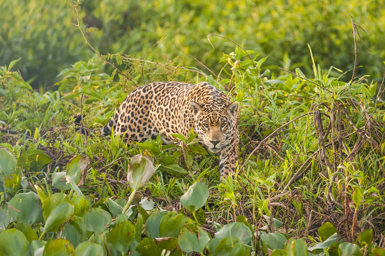 You might spot the jaguar. To a colour blind monkey, this simply looks like the number '57'. Credit: Andre Dib/shutterstock