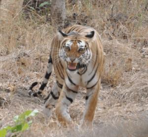 The tigress snarls. Credit: Pushp Jain