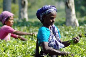 Tea garden workers in Assam. Credit: Reuters