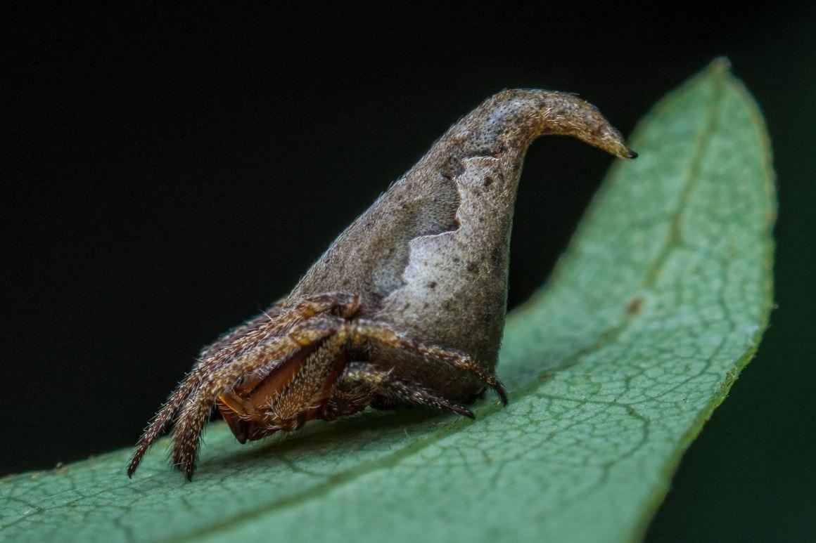 The Eriovixia gryffindori (the Sorting Hat spider). Credit: Sumukha JN