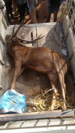 A poached Sambar stag seized during New Year's arrest in Bhadra Tiger Reserve. Credit: WCS-India via Mongabay