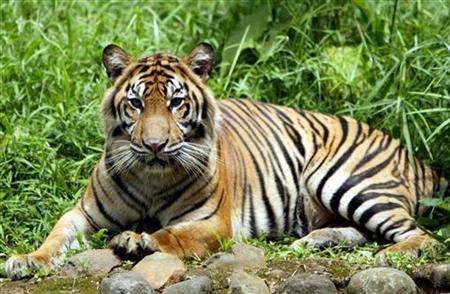 A Sumatran tiger. Credit: Reuters
