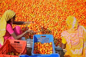 Faced with dismally low prices, farmers have been throwing their tomato crop on the highways in Madhya Pradesh, Chhattisgarh, Andhra Pradesh, Maharashtra and Karnataka. Representative image credit: Michael Foley/Flickr CC BY-NC-ND 2.0