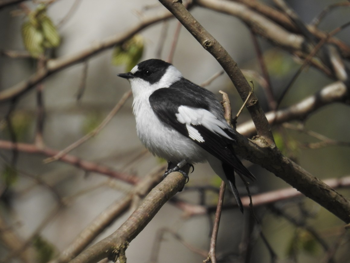 An adult male collared flycatcher. Credit: Fernando Mateos-Gonzale