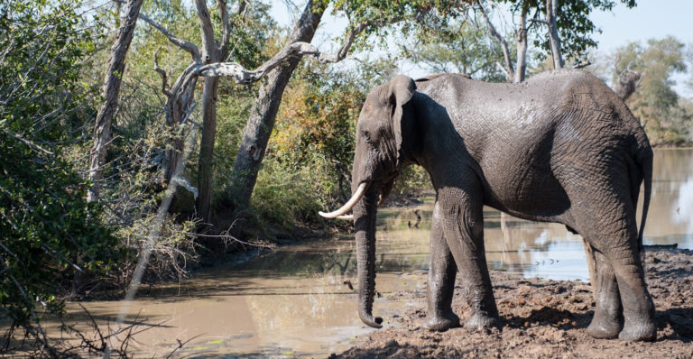 Kruger has a healthy population of elephants but poaching and loss of habitat have been reducing their numbers. Credit: Justin Catanoso