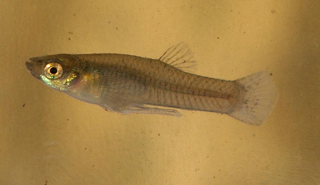 A male mosquitofish. Credit: NOZO/Wikimedia Commons, CC BY-SA 3.0