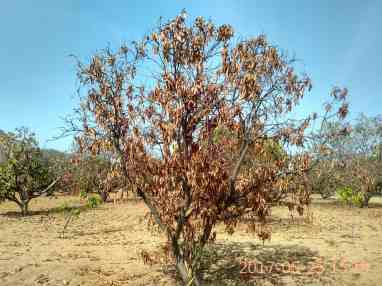 Dead mango trees in the fields of Chinni Krishnaiah and Janardhan in Bucchayyavaripalle, in Bhukkapatnam mandal of Anantapur district. Credit: Rahul Maganti