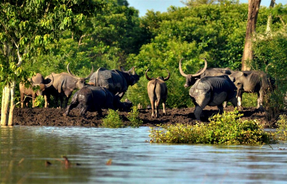 Rhinos and buffalos take shelter at a high land in the flooded Kaziranga National Park in Assam. Credit: PTI