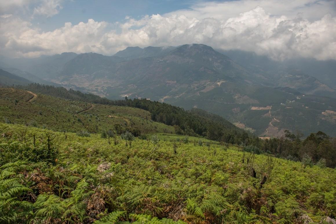 Weeds take over a cleared plantation at Kurinjimala restoration site (Munnar landscape, Kerala). Credit: Prasenjeet Yadav