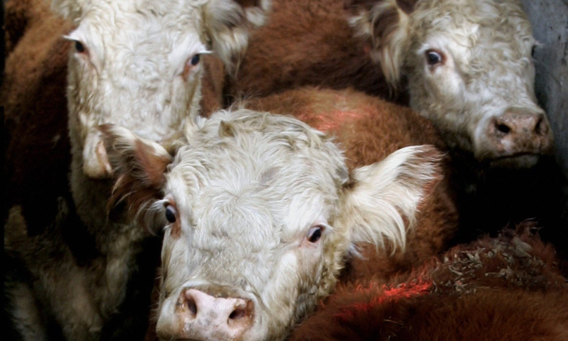 Hereford cattle arrive at a meat processing plant. Credit: Daniel Garcia