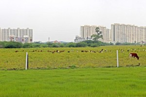 There are very few agricultural fields remaining in Perumbakkam in the southern reaches of Chennai, with high-rise apartment complexes dotting the skyline. Credit: Author provided