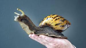 Giant African Land Snail. Credit: Reddit