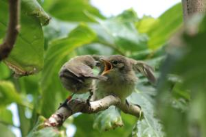 A surrogate parent feeding a Seychelles warbler chick. Credit: Sjouke Kingma