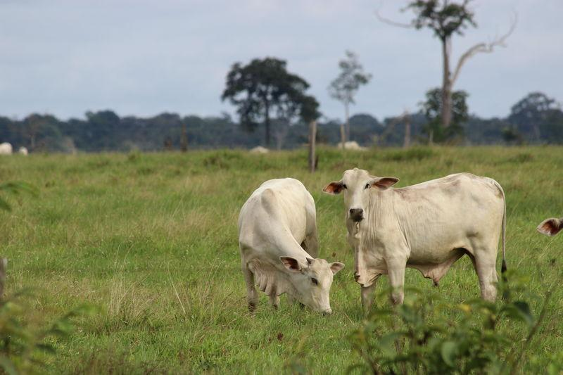 Cows graze on land cleared of most trees for cattle pasture in deforested areas of the Amazon rainforest in Amazonas State, Brazil on June 2, 2017. Credit: Thomson Reuters Foundation/Chris Arsenault