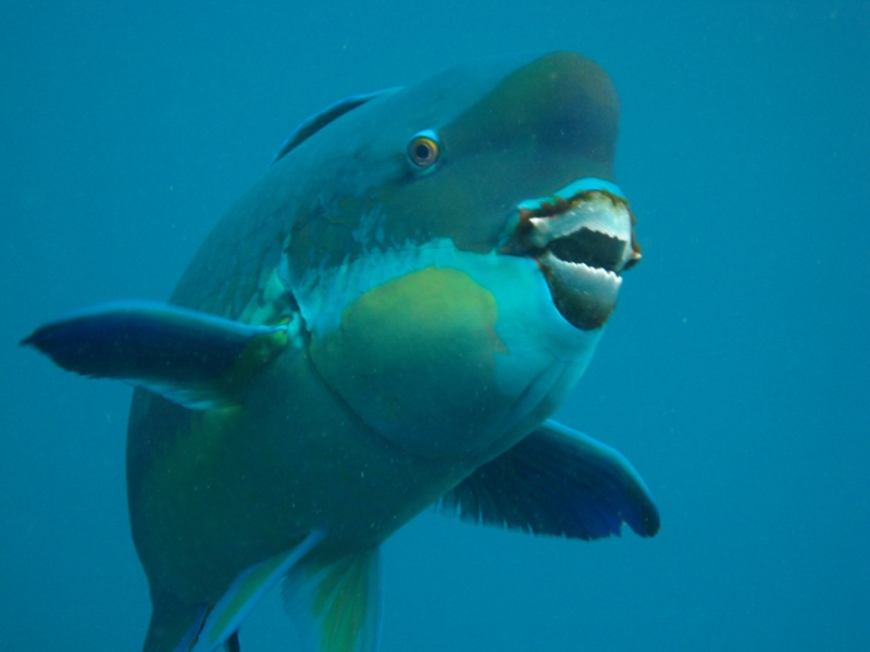 Scientists studied the microstructure of the coral-chomping teeth of the steephead parrotfish, pictured here, to learn about the fish's powerful bite. Credit: Alex The Reef Fish Geek/Nautilus Scuba Club, Cairns, Australia