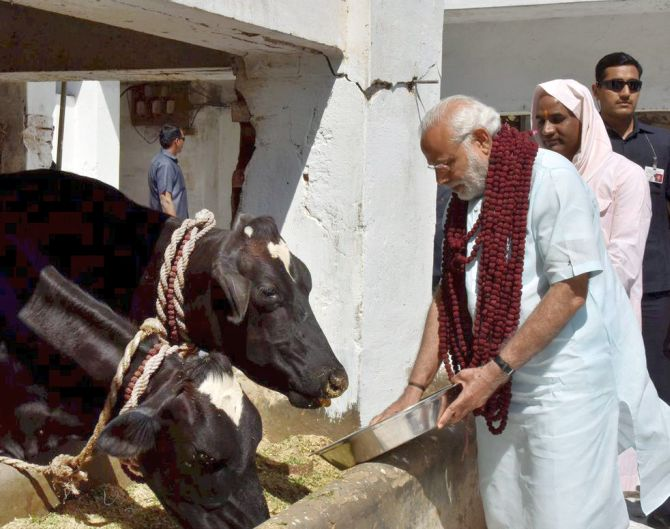 Varanasi: Prime Minister Narendra Modi feeding cows during a visit to the Garwaghat Ashram in Varanasi on Monday. PTI Photo / Twitter(PTI3_6_2017_000227B)