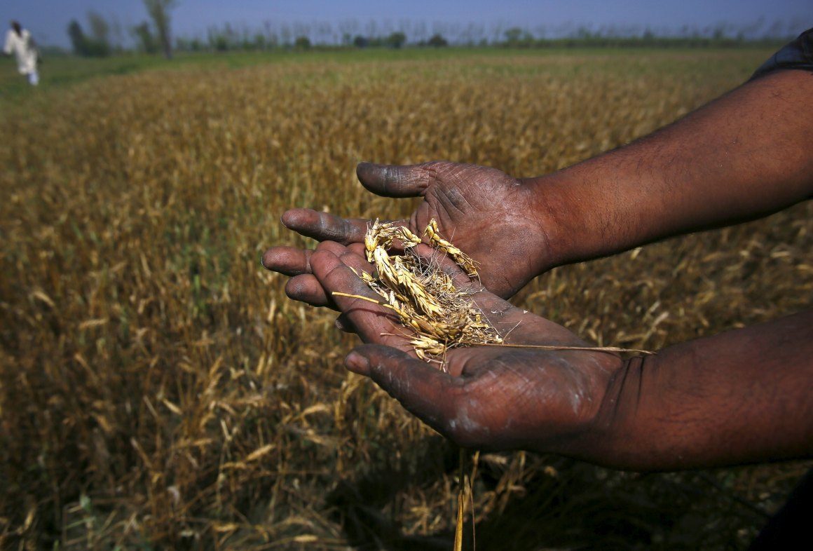 A farmer shows wheat crop damaged by unseasonal rains in his wheat field at Sisola Khurd village in the northern Indian state of Uttar Pradesh, March 24, 2015. To match Insight INDIA-MODI/ Picture taken March 24, 2015. REUTERS/Anindito Mukherjee