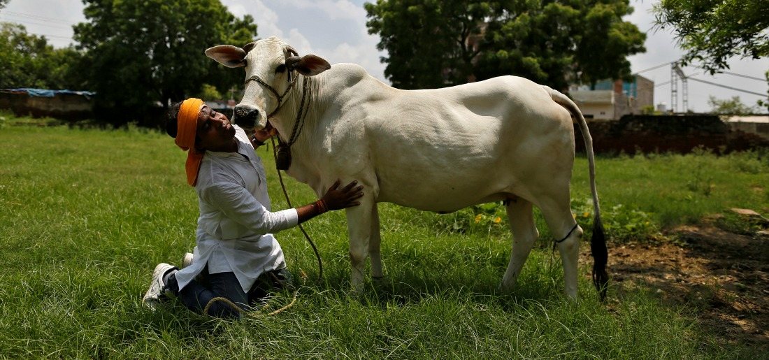 Jitendra Depuriya, a member of a Hindu nationalist vigilante group established to protect cows, is pictured with an animal they claimed to have saved from slaughter, in Agra August 8, 2016. Photo: Reuters