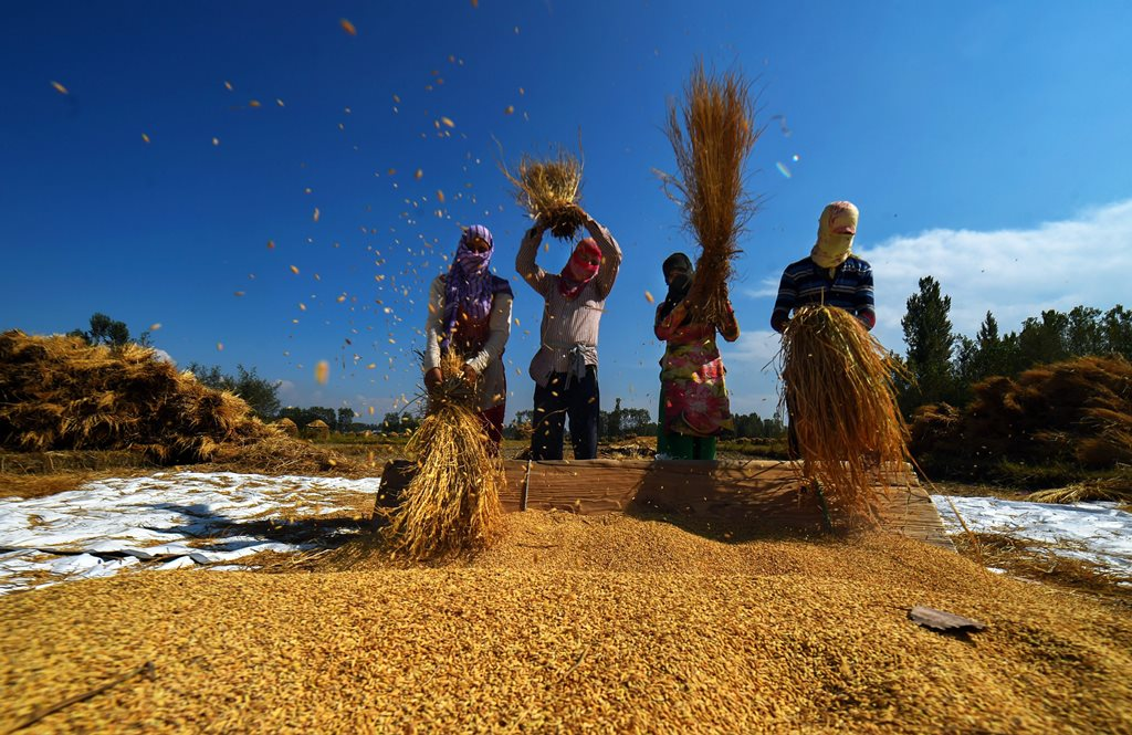 Budgam: Farmers work in a paddy field during the harvesting season of the crop, in Budgam district of central Kashmir, Sunday, September 30, 2018. The yield of this year is better than the last year, as per reports. ( PTI Photo/S Irfan) (PTI9_30_2018_000081B)