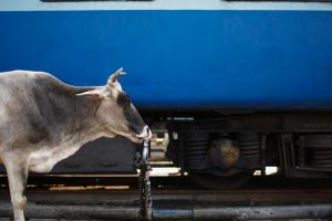 Train-Cow_Reuters_1280-1200x600