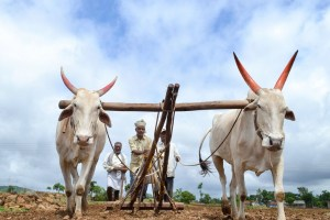 Karad: Farmers plough their field as they sow soyabean at a field in Ghogaon village near Karad, Friday, July 5, 2019. Finance Minister Nirmala Sitharaman said the government will invest widely in agriculture infrastructure and support private entrepreneurship for value addition in farm sector. (PTI Photo) (PTI7_5_2019_000217B)