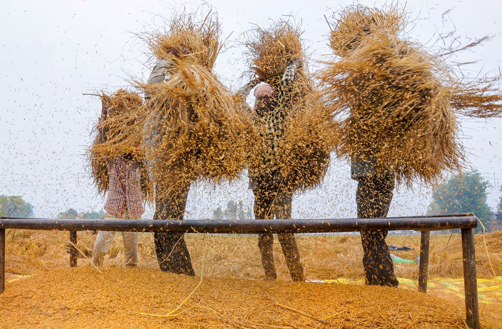 Amritsar: Farmers thrash paddy at a field near Amritsar, Saturday, Nov. 2, 2019.(PTI Photo)(PTI11_2_2019_000126B)