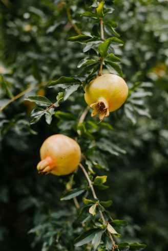fresh garnet ripening on green branch