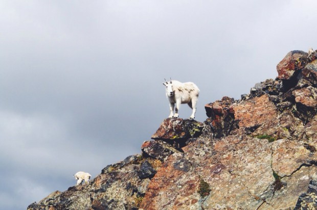 We saw these mountain goats on Quandary Peak two years ago.