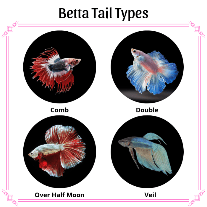 Four different betta tail types