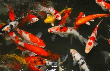 Colorful koi in pond with orange, red, white, black and yellow colors