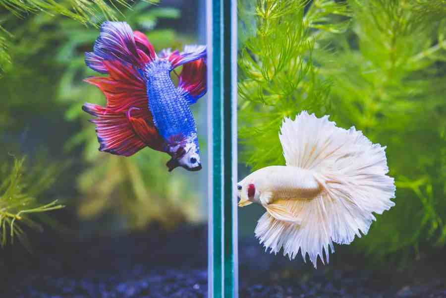 two betta fish separated in tank by divider