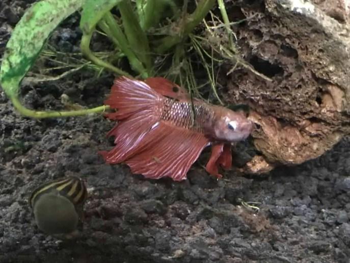 Rose Petal Betta Fish With Popeye