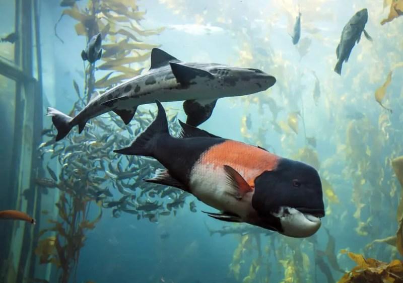 Fish Swimming in Monterey Bay Aquarium