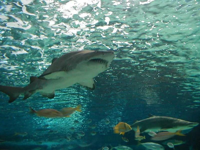 Sharks in a large aquarium at Ripleys in South Carolina