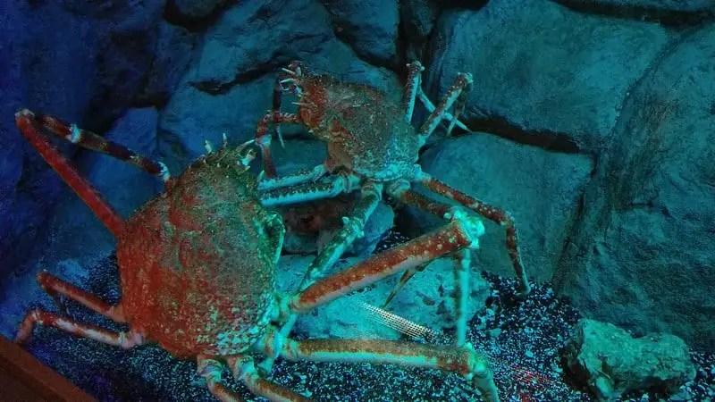 twp crabs at the loveland aquarium in utah