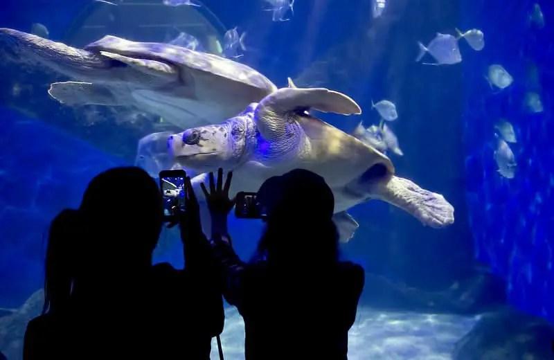 prople photographing giant sea turtles in aqurium