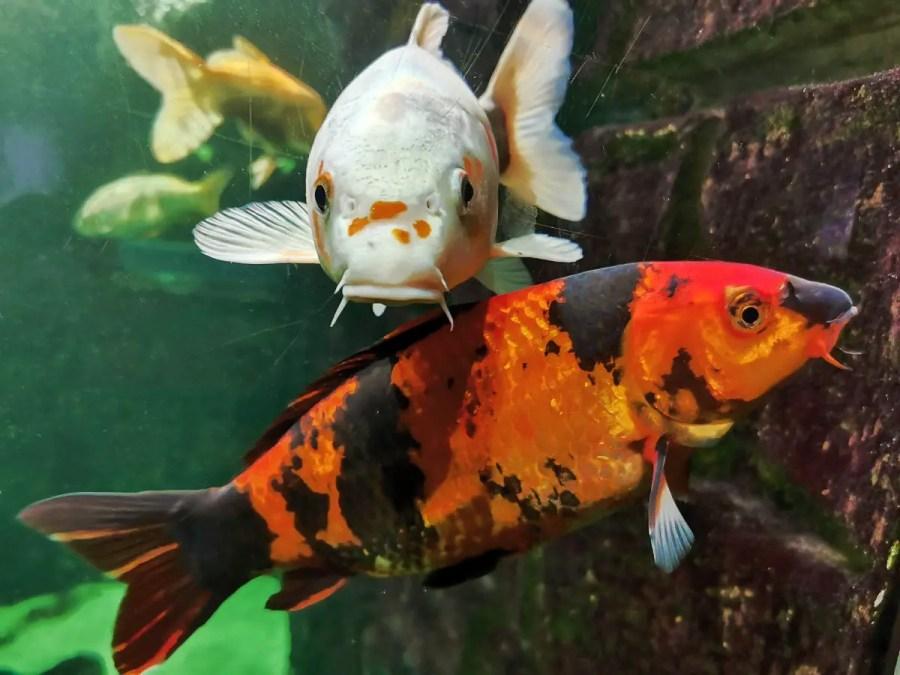Two large koi in an aquarium