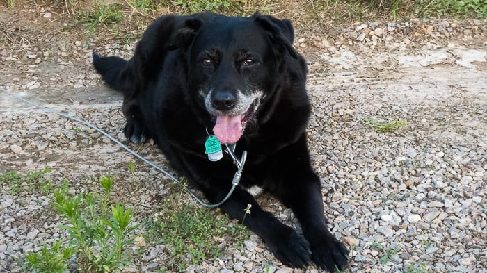 picture of a black dog