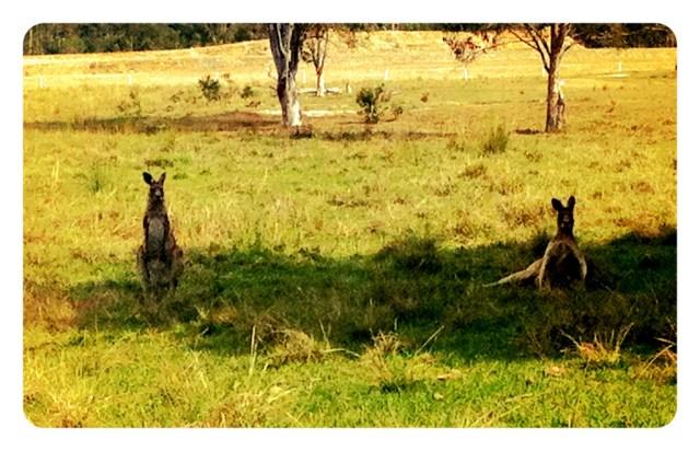 Kangaroos Near Ballina!