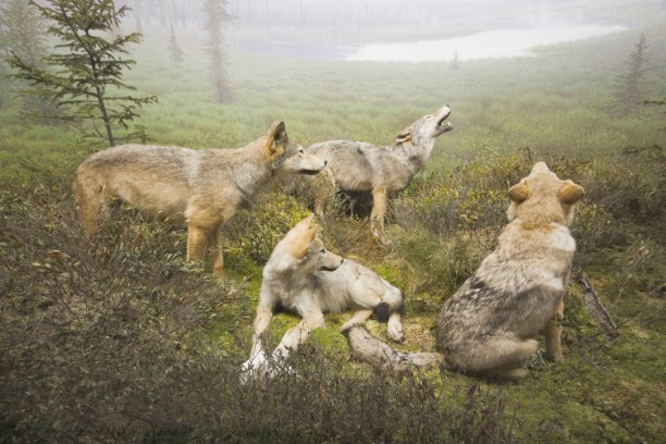 Wolves in Algonquin Park. Photo: JDB Photos, Creative Commons