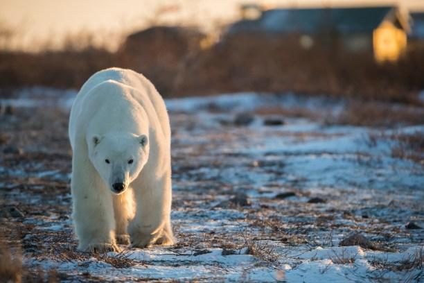 Polar bear (Ursus maritimes) Churchill, Manitoba, Canada