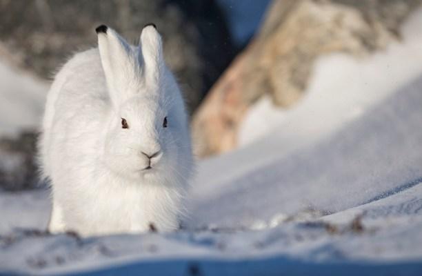 Arctic hare (Lepus arcticus) Churchill, Manitoba, Canada