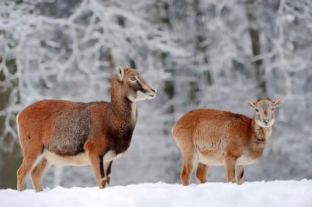 European Mouflon (Ovis orientalis musimon, Ovis gmelini musimon)
