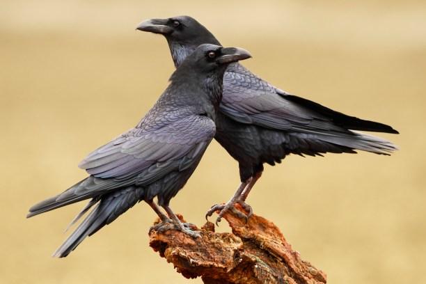 Common Ravens (Corvus corax)