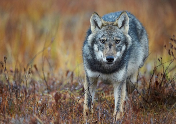 European Grey wolf (Canis lupus lupus) wetlands in Eastern Finland