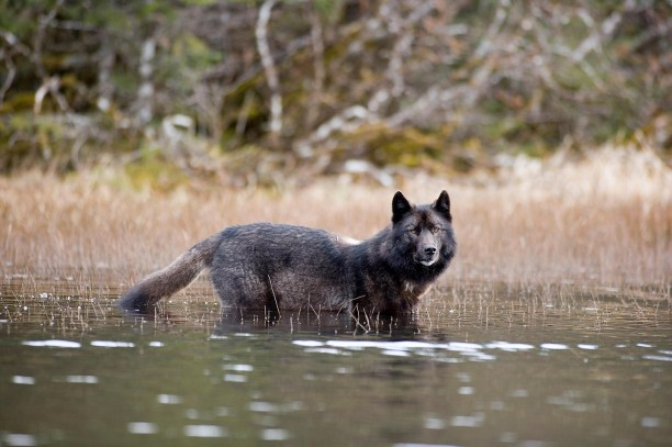 Archipelago Wolf In Black Color Phase Wading Through Pond Southeast Alaska Winter Tongass Nat Forest
