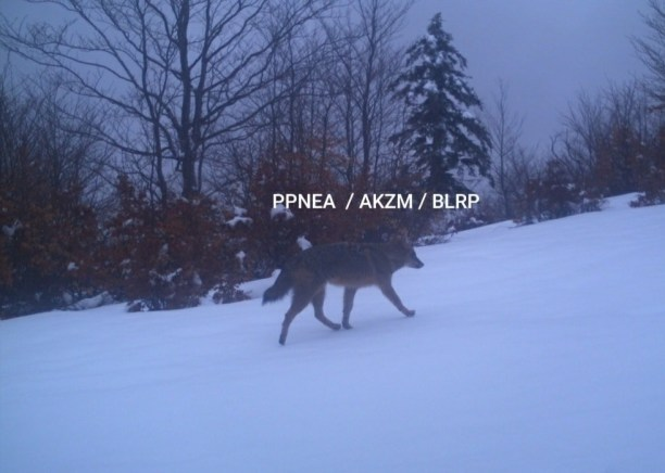 Camera Trapped Wolf by Protection and Preservation of Natural Environment in Albania (PPNEA)