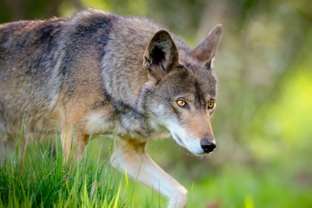 Red Wolf (Canis rufus) US Fish and Wildlife